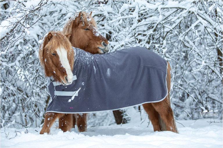 Zwei Islandpferde im Schnee