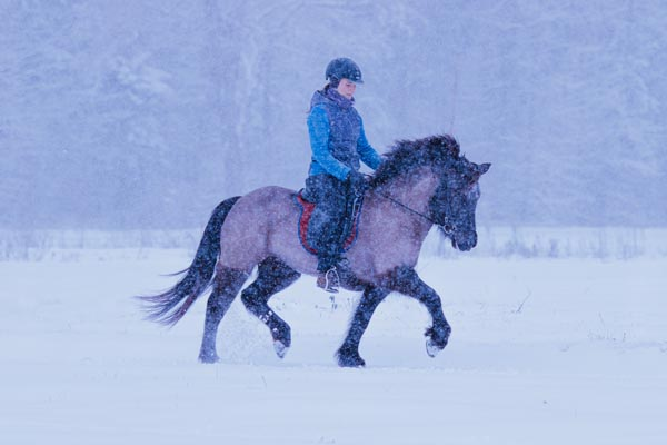 Geschorenes Islandpferd im Winter