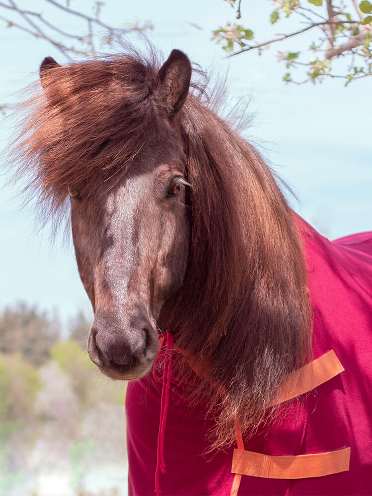 Pony in Abschwitzdecke Weinrot