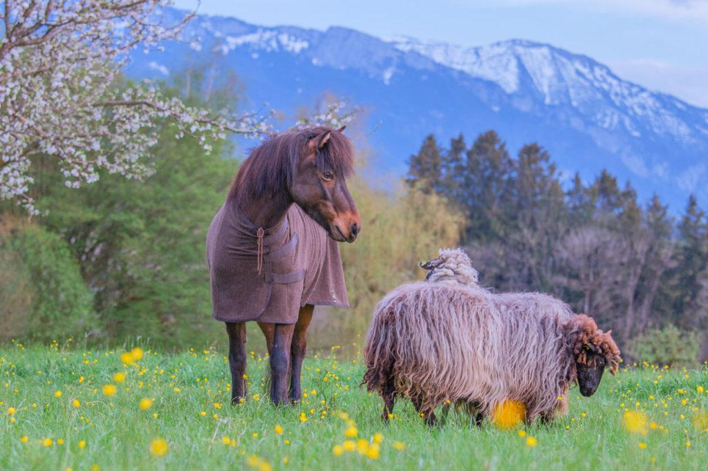 Pferd mit Schafen tägt Abschwitzdecke aus Wolle