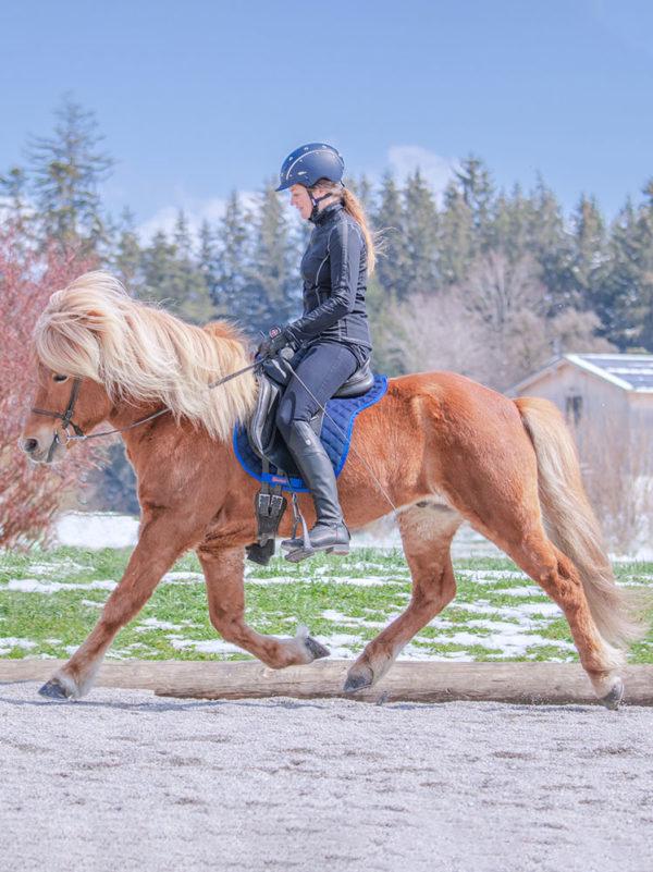 Islandpferd im Trab trägt Satteldecke aus Wolle in der Farbe Blau